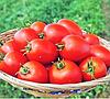 НАМИБ F1 - семена томата детерминантного, 500 семян, Syngenta