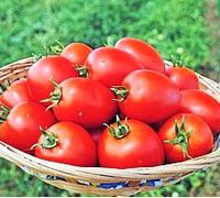 НАМИБ F1 - семена томата детерминантного, 500 семян, Syngenta, фото 1