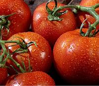 ПАНЕКРА F1 - семена томата индетерминантного, 500 семян, Syngenta, фото 1