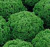 АЛЕППО - семена салата тип Лолла Бионда дражированные, 1 000 семян, Rijk Zwaan
