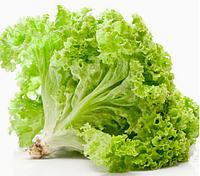 АФИЦИОН - семена салата тип Батавия, 5 грамм, Rijk Zwaan, фото 1