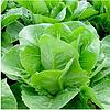 ВИКТОРИНУС - семена салата тип Ромэн дражированные, 1 000 семян, Rijk Zwaan