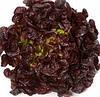 ВИЛБУР - семена салата тип Лолла Росса дражированные, 1 000 семян, Rijk Zwaan
