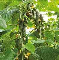 ЭКОЛЬ F1 - семена огурца, 500 семян, Syngenta, фото 1