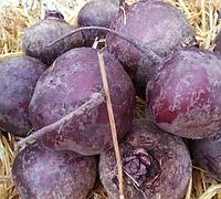 МОНОПОЛИ - семена свеклы столовой, 100 000 семян, Syngenta, фото 1