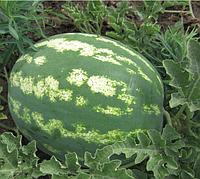 АРАШАН F1 (ВДЛ5003 F1) - семена арбуза, 1 000 семян, Syngenta, фото 1
