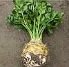ПРЕЗИДЕНТ - семена сельдерея корневого, 1 000 семян, Rijk Zwaan