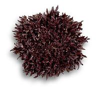 ВИНТЕКС - семена салата тип Саланова дражированные, 1 000 семян, Rijk Zwaan, фото 1