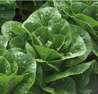 КЛАУДИУС - насіння салату тип Ромен дражоване, 1 000 насінин, Rijk Zwaan, фото 1