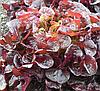 РУКСАЙ - семена салата тип Дуболистный дражированные, 1 000 семян, Rijk Zwaan