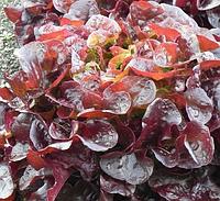 РУКСАЙ - семена салата тип Дуболистный дражированные, 1 000 семян, Rijk Zwaan, фото 1
