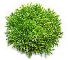 СИГАЛ - семена салата тип Эндивий дражированные, 1 000 семян, Rijk Zwaan