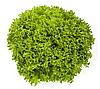 ЭКСПЛОР - насіння салату тип Саланова дражоване, 1 000 насінин, Rijk Zwaan