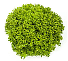 ЭКСПЛОР - семена салата тип Саланова дражированные, 1 000 семян, Rijk Zwaan