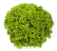 ЭКСПЛОР - насіння салату тип Саланова дражоване, 1 000 насінин, Rijk Zwaan, фото 1
