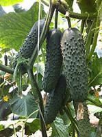 Семена огурца Седрик F1, 1 шт, Enza Zaden (Энза Заден), Голландия