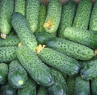 МЕРЕНГА F1 - насіння огірка, Seminis 250 насінин