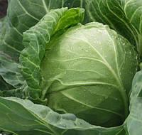 СІР F1 - насіння капусти білоголової, CLAUSE 10 000 насінин