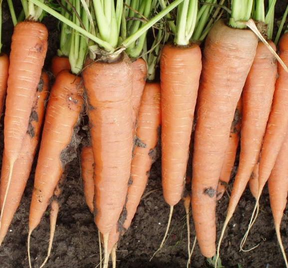 СКАРЛА  - семена моркови, CLAUSE 500 грамм