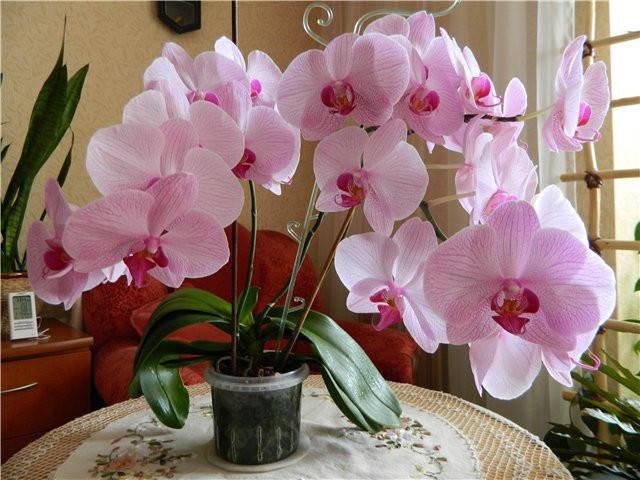 Красень Фаленопсис – наша улюблена орхідея: вирощування, догляд та добриво для орхідей