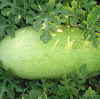 ЧАРЛЬСТОН ГРЕЙ - семена арбуза, CLAUSE 500 грамм