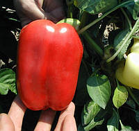 НИКИТА F1  - семена сладкого перца, CLAUSE 5 гр