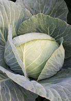 Капуста Сунта F1 Takii Seed 2500 семян, фото 1