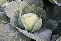 Капуста Отм Квин F1 Takii Seed 2500 семян, фото 1