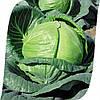 Капуста Тобия F1 Seminis 2500 семян
