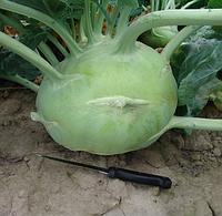 Глобус семена капусы кольраби , фото 1