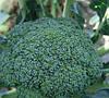Ледницкая семена капусты брокколи