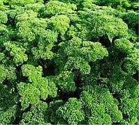 АСТРА - семена петрушки, Moravoseed