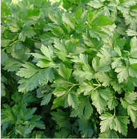 РОСАВА - семена петрушки, Moravoseed