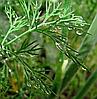 ТАТРАН - семена укропа, Moravoseed