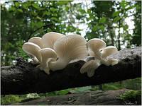Мицелий (грибница) ВЕШЕНКИ БЕЛОЙ маточный зерновой биологически высушеный