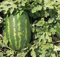 КАРОЛИНА F1  -семена арбуза 1 000 семян, CLAUSE
