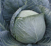 БРАВО F1  - семена капусты белокочанной 2 500 семян, CLAUSE