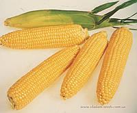 ЛЕЖЕНД F1 - семена сладкой кукурузы 1 кг, CLAUSE