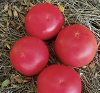 ФЕНДА F1  - семена томата индетерминантного 250 семян, CLAUSE