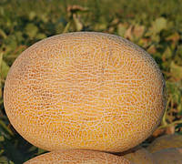 КАРАМЕЛЬ F1  - семена дыни, 1 000 семян, CLAUSE, фото 1