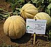СУПЕРСТАР F1 - семена дыни, 10 грамм, CLAUSE