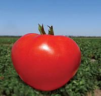 АКЕЛА F1 - семена томата детерминантного 1 000 семян, CLAUSE