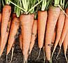 СКАРЛА  - семена моркови, 500 грамм, CLAUSE