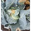 КЛАПТОН F1 - семена цветной капусты, 2 500 семян, Syngenta