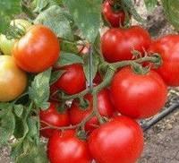 САНРАЙЗ F1  - семена томата детерминантного, 1000 семян, Semenis, фото 1