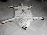 Белый полярный волк из Канады, шкуры ковры из диких животных, фото 3