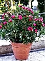 ОЛЕАНДР РОЗОВЫЙ (nerium oleander), фото 1
