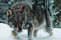 """Картина на стекле """"Волк зимой"""""""
