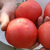 ТЕТМ 010 F1 - семена томата, Takii Seeds, фото 1