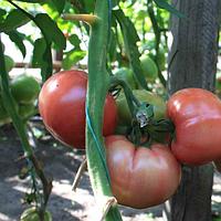 ТЕХ 2721 F1 - семена томата, Takii Seeds 250 семян